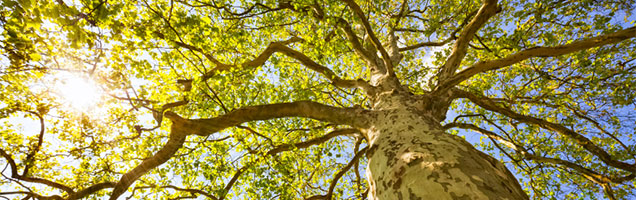 an image Looking up at tree from below on Coppertree Counseling website